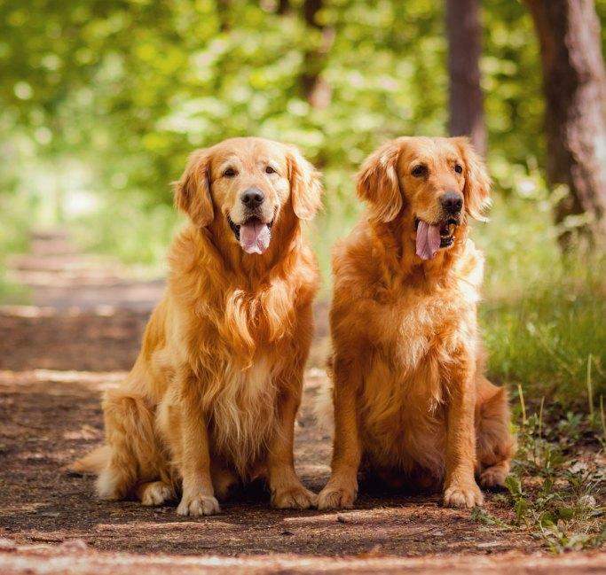 cachorro golden com amigo