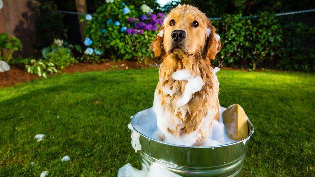 golden retriever banho
