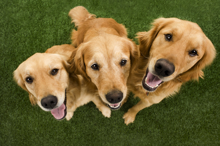 golden retriever familia
