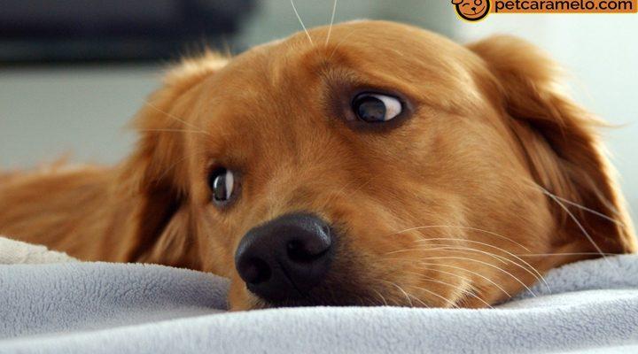 golden sozinho cachorro sente sua falta