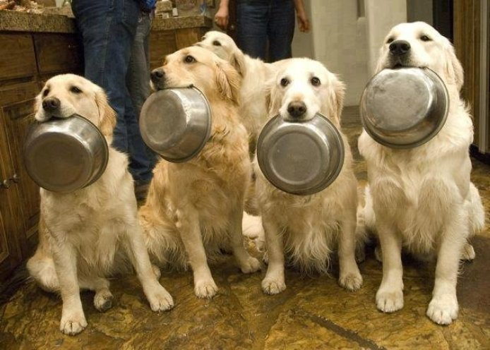 golden retriever fome