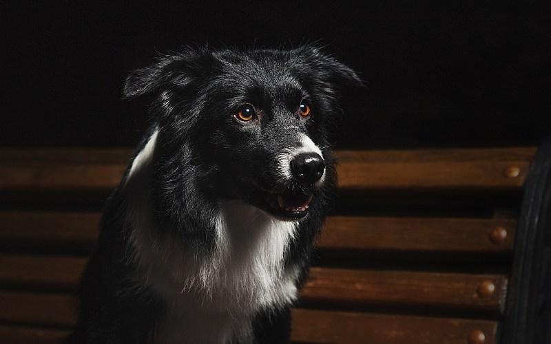 Cachorro Enxerga no Escuro-border