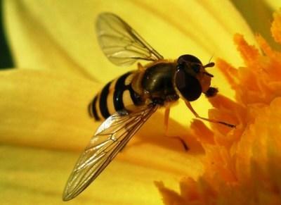 abelha europa
