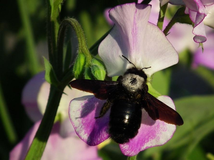 abelha preta
