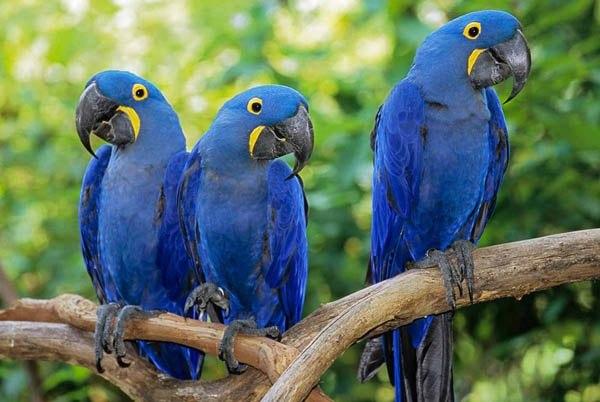 animais em extinção arara azul