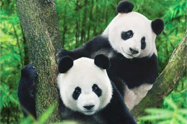 animal extincao panda