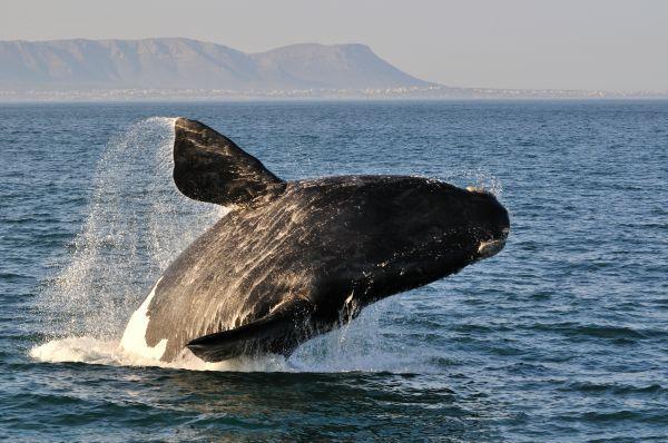 baleia franca do sul