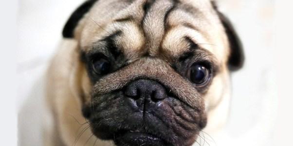 cachorro enrugado