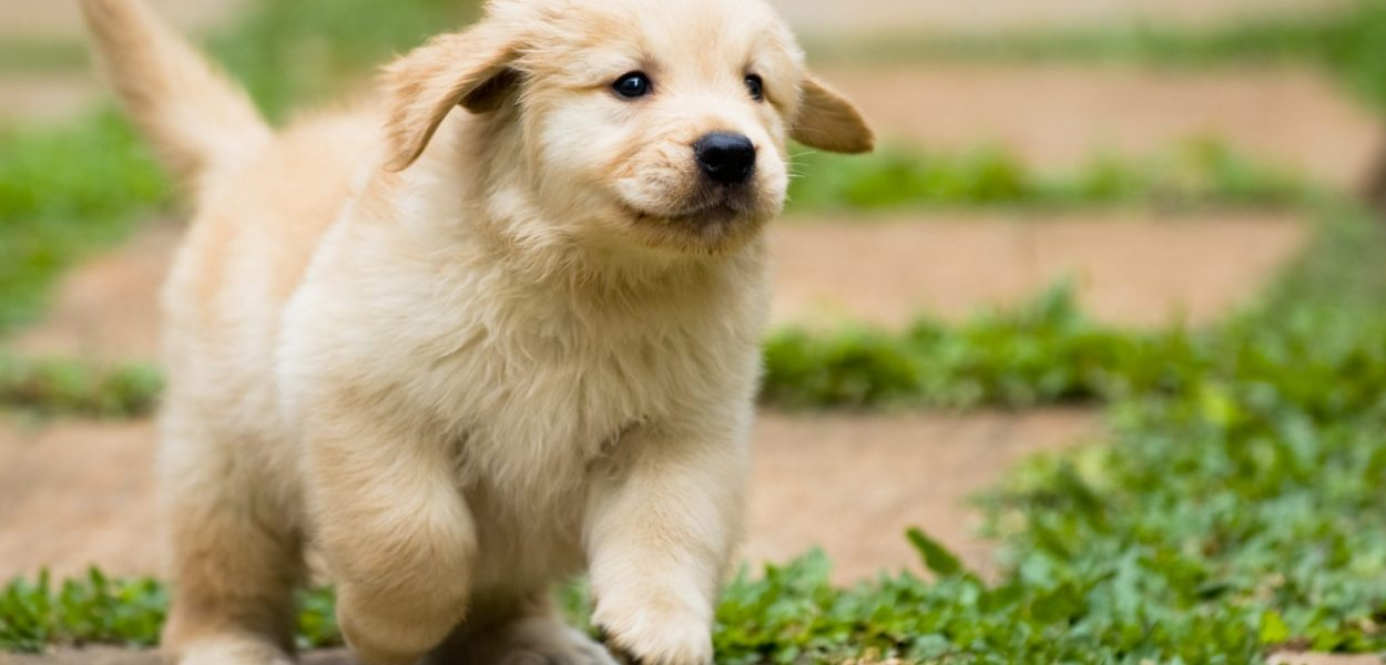 golden retriever valor