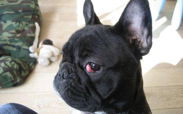 olho de cereja bulldog frances