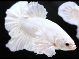 peixe beta branco