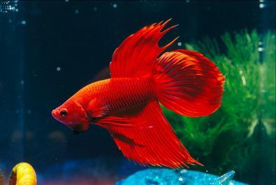 Peixe Beta Vermelho