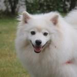 cachorro esquimo americano