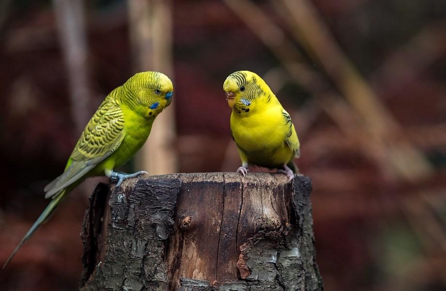 periquito amarelo