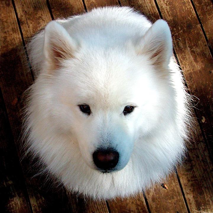cachorro branco samoieda