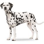 dalmata cachorro