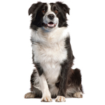 border collie preto
