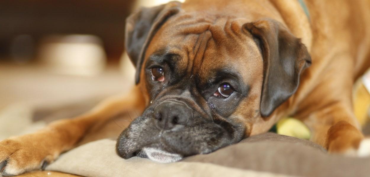 cachorro com tumor ou cancer