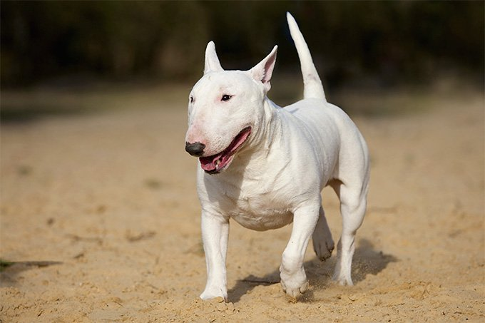bull terrier branco