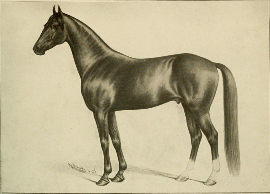 cavalo árabe historia