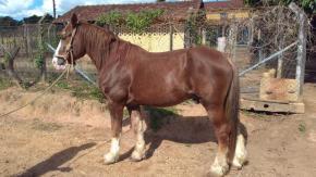 cavalo bretao marrom