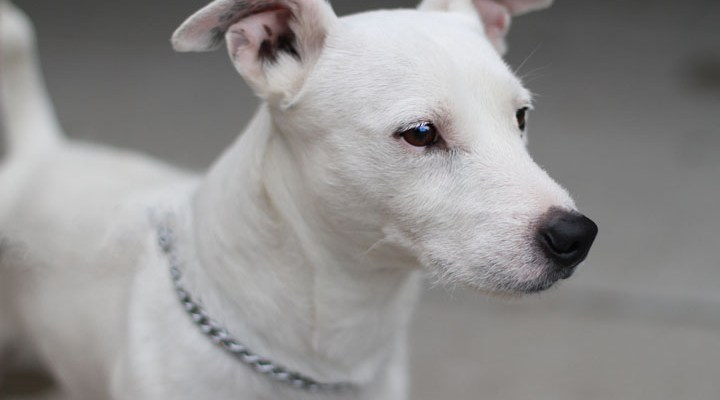 jack russell terrier branco