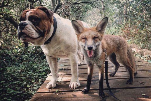 qual a diferenca entre um cachorro e uma raposa