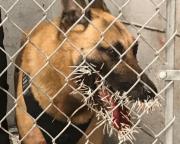 Cachorro Atacado por Porco Espinho