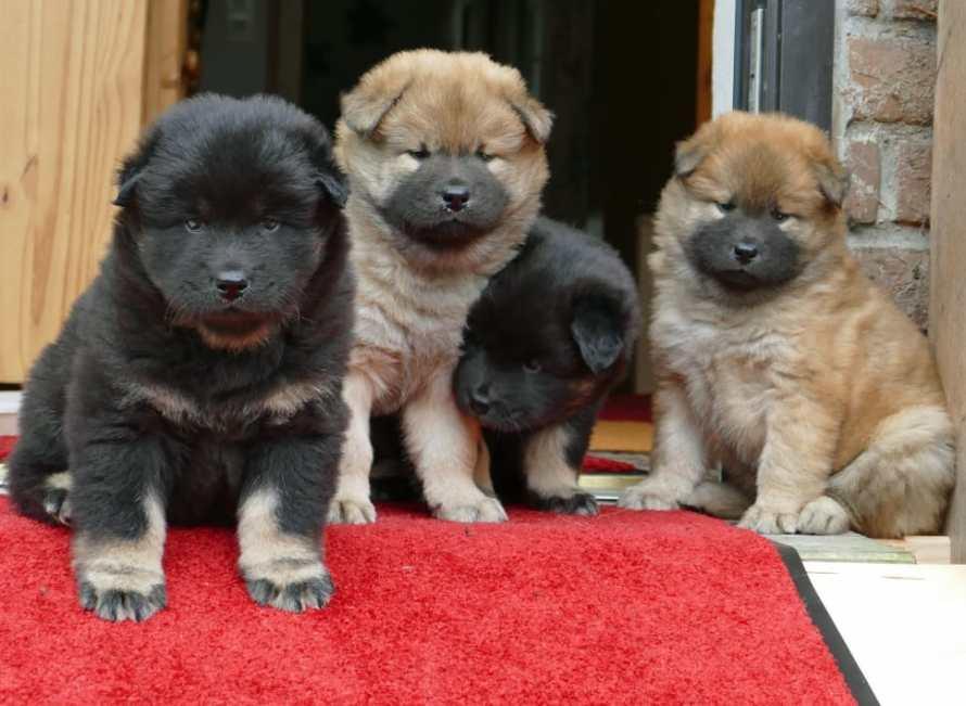 nomes para cachorro akita