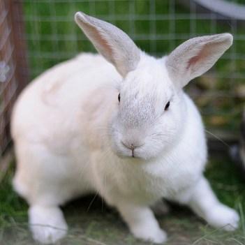 coelho chichilla