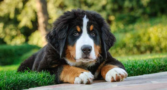 quanto custa um bernese mountain dog