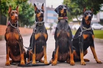 doberman cachorros