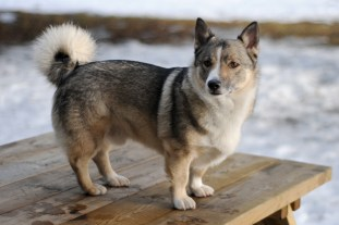Sueco Vallhunds