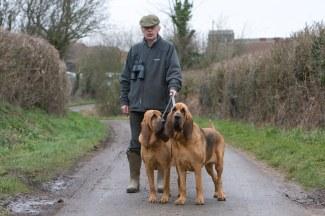 bloodhound-cachorros-passeando