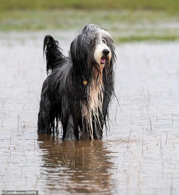 Cachorro Bearded Collie