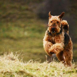 airedale terrier cachorro