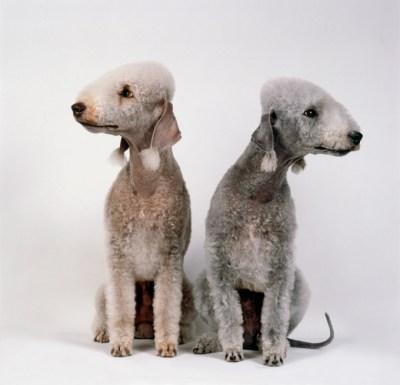 Bedlington Terrier cores