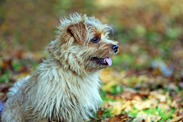 Norfolk cachorro