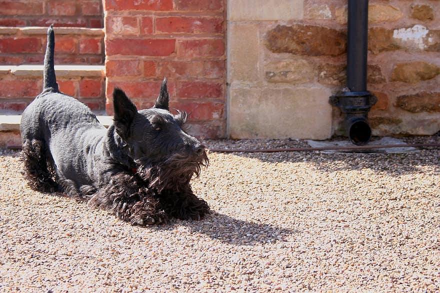 Scottish Terrier cachorro