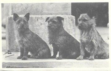 norwich terrier historia