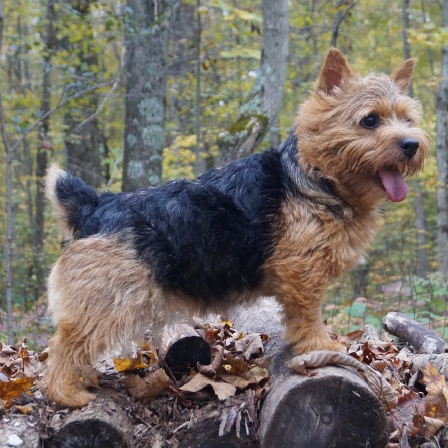 norwich terrier preto