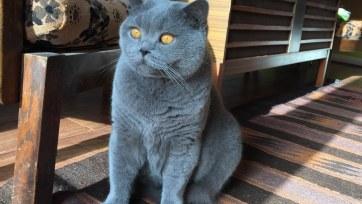 British shorthair blue azul