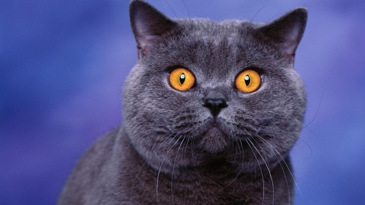 British shorthair cinza escuro