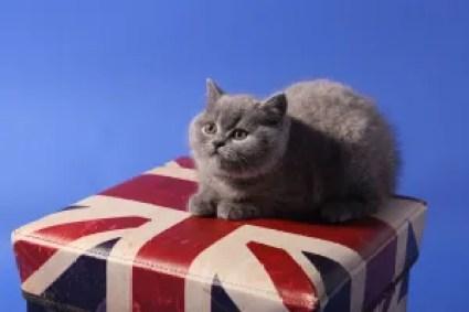 British shorthair UK