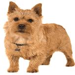 cachorro Norwich