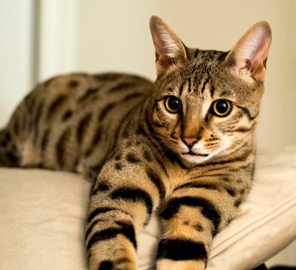 gato savannah preco