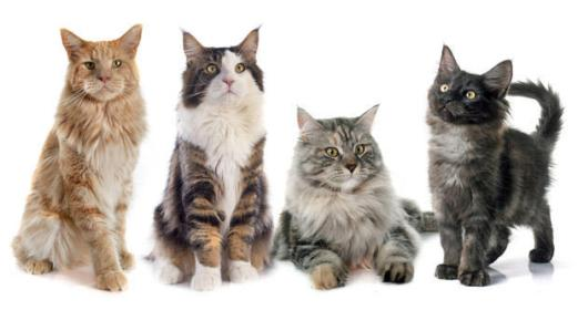 maine coon cores