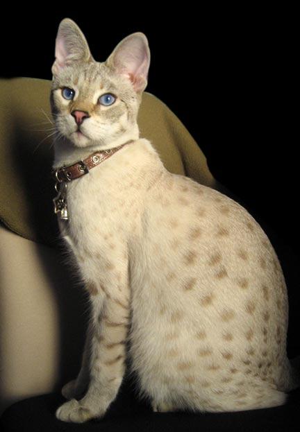 Gato Savannah areia