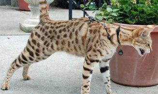Gato Savannah na coleira