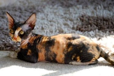 Gato Sphynx Casco de tartaruga